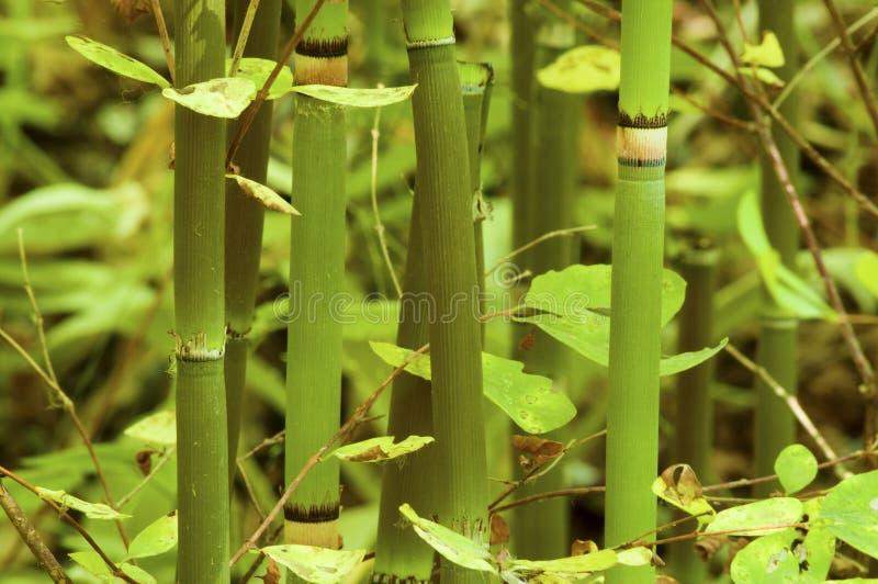 Czyścić pośpiech rośliny obrazy royalty free