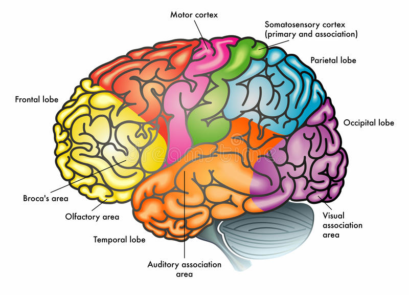 Czynnościowy diagram ludzki mózg royalty ilustracja