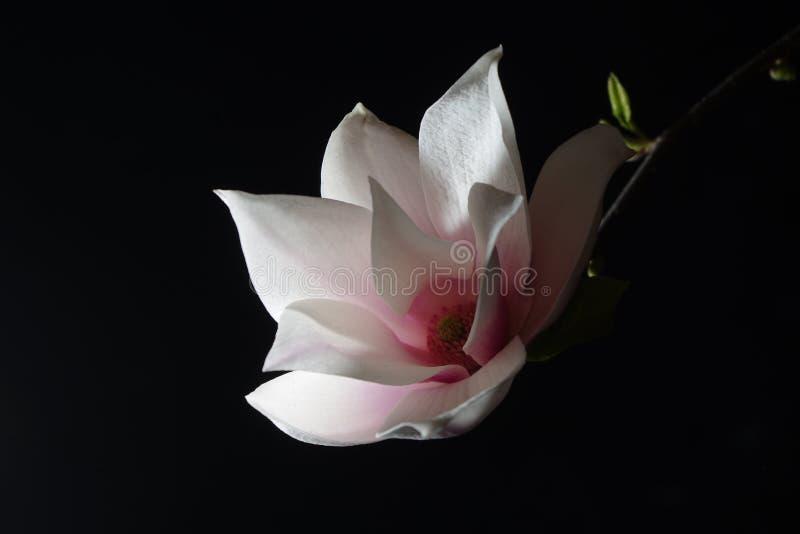 Czysta biała i czysta różowa magnolia kwitnie obrazy royalty free