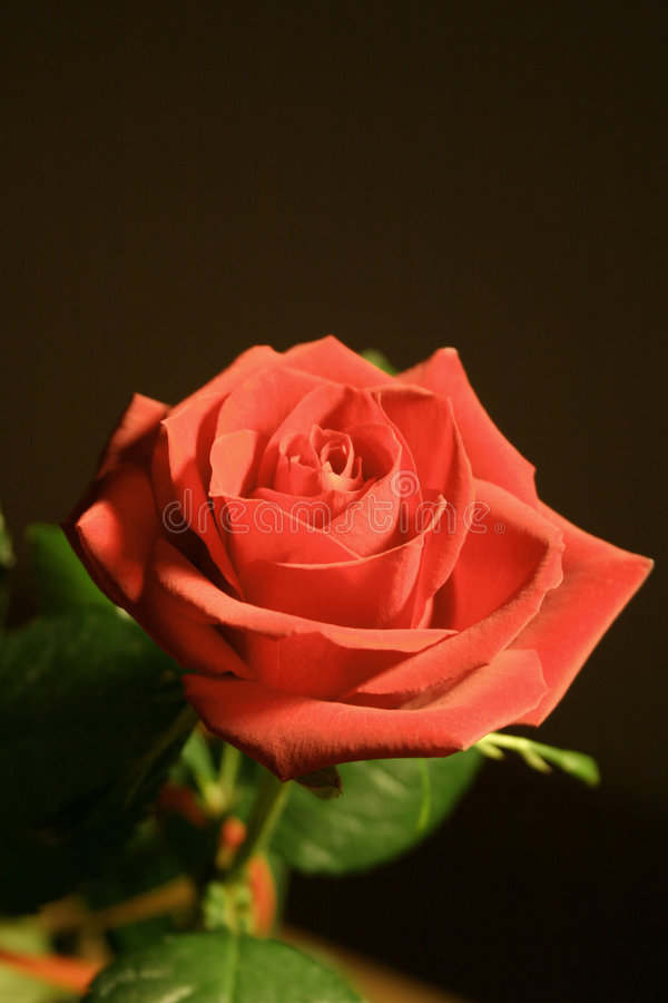 czysta, czerwona róża zdjęcia royalty free