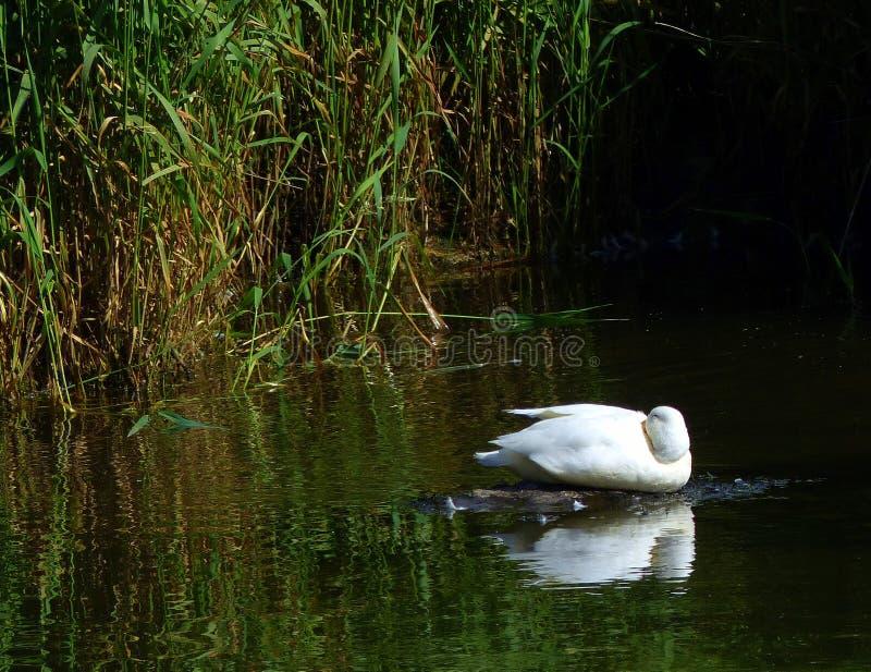 Czysta kaczka biała, spoczywająca, trzcinowa obraz royalty free
