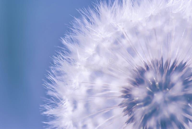 Czystość dandelion kwiat zdjęcie royalty free