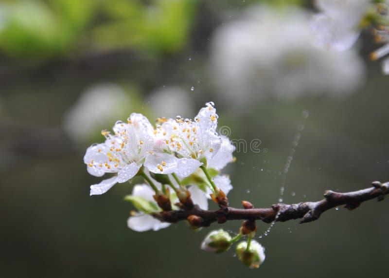 Czysty biały śliwkowy kwiat obrazy royalty free
