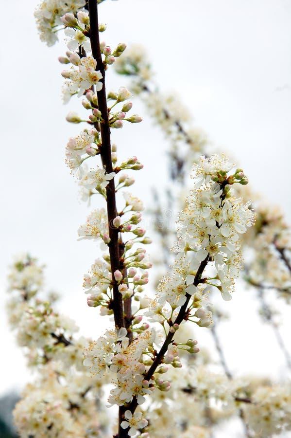 Czysty biały śliwkowy kwiat obraz stock