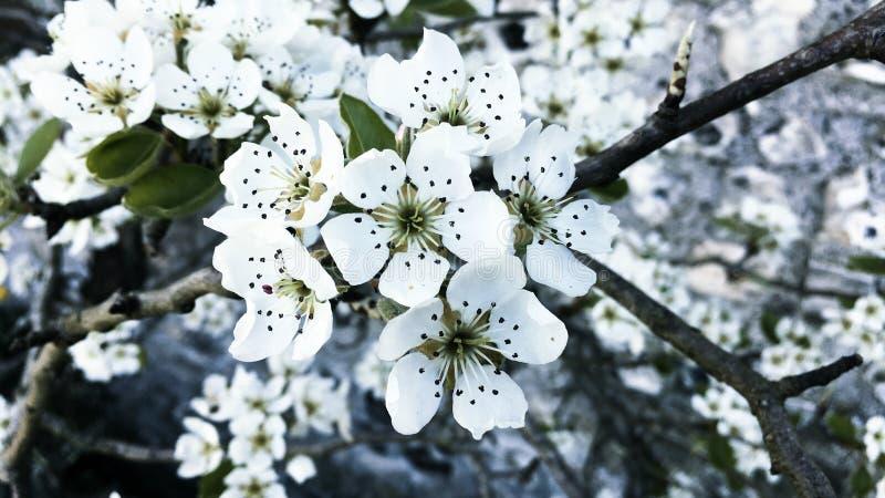 Czysty biały jabłczany okwitnięcie fotografia royalty free