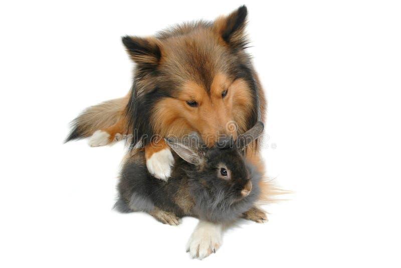 czyszczenie królika lwa razem fotografia stock