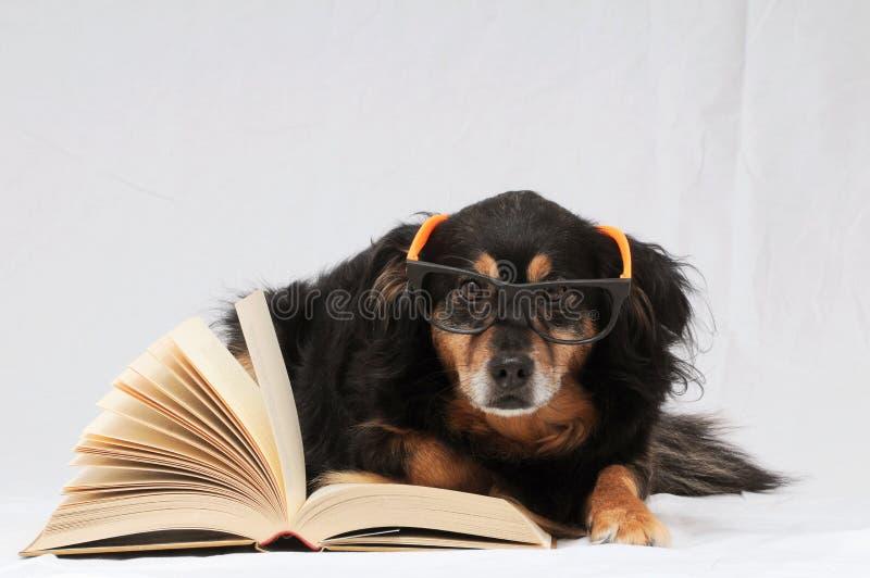 Czytelniczy pies zdjęcia royalty free
