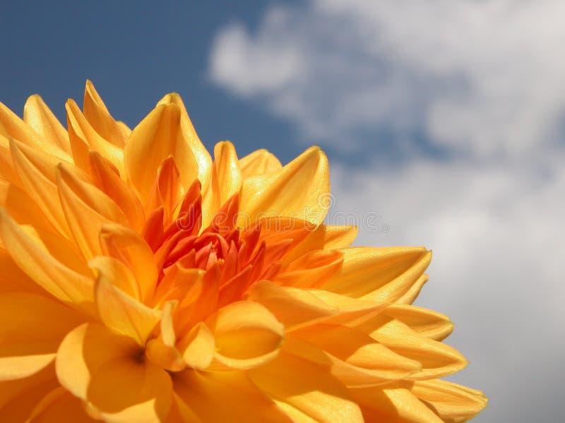 Dália amarela fotos de stock royalty free