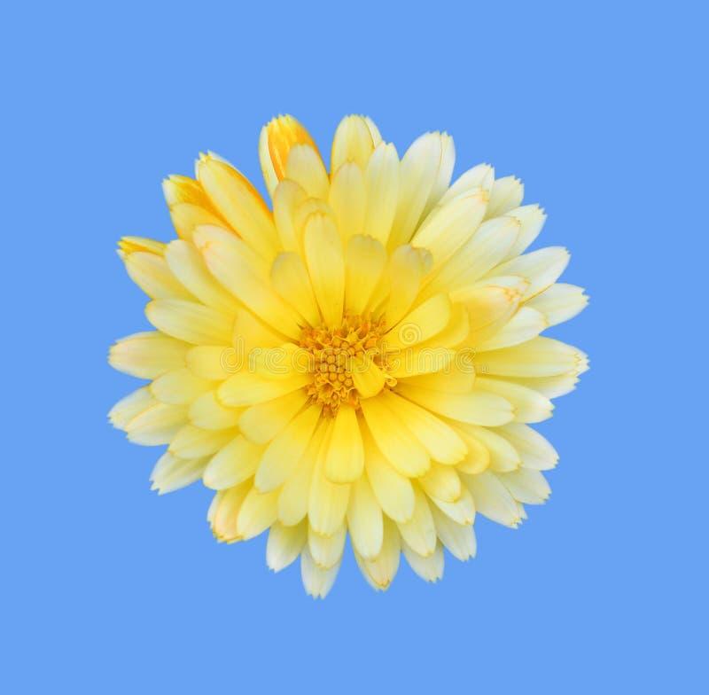 Dália amarela lindo no fim azul do fundo acima A dália é um gênero de plantas constantes espessas, tuberosas, herbáceas imagem de stock royalty free