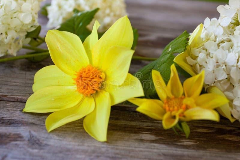 Dália amarela na superfície de madeira velha cinzenta com as flores brancas no fundo foto de stock royalty free