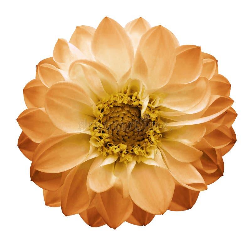 A dália amarelo-alaranjada da flor do outono em um branco isolou o fundo com trajeto de grampeamento closeup fotos de stock royalty free