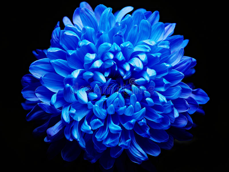 Dália azul foto de stock