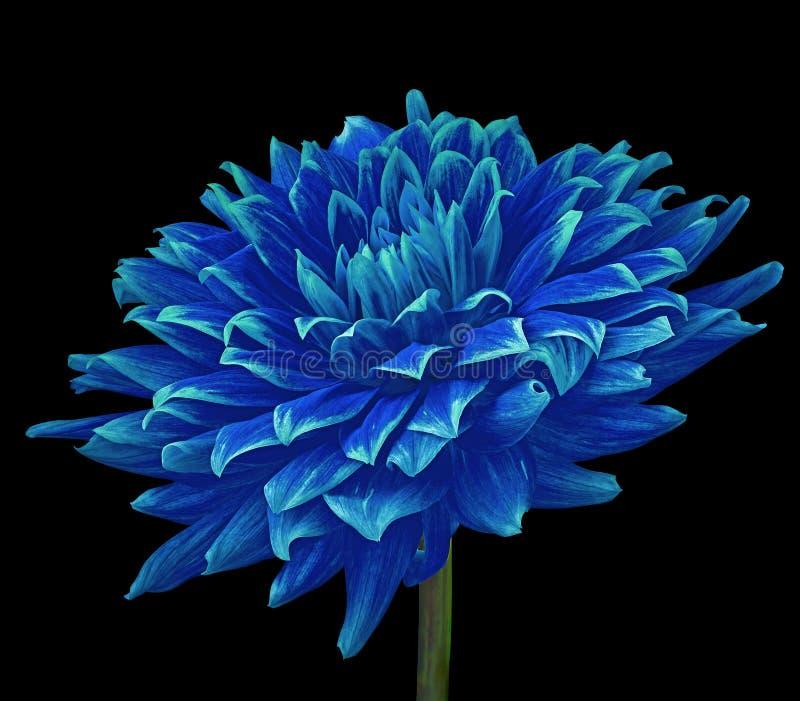 Dália azul da flor isolada em um fundo preto Close-up Flor em uma haste fotos de stock