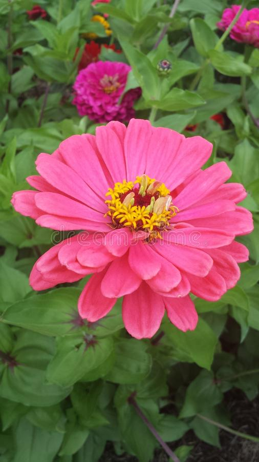 Dália cor-de-rosa da beleza imagem de stock