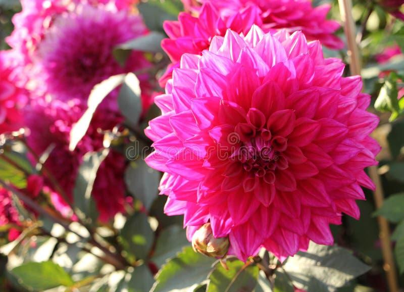 Dália cor-de-rosa do close-up no jardim imagens de stock royalty free