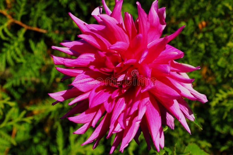 Dália cor-de-rosa no jardim Imagem de uma dália cor-de-rosa bonita foto de stock