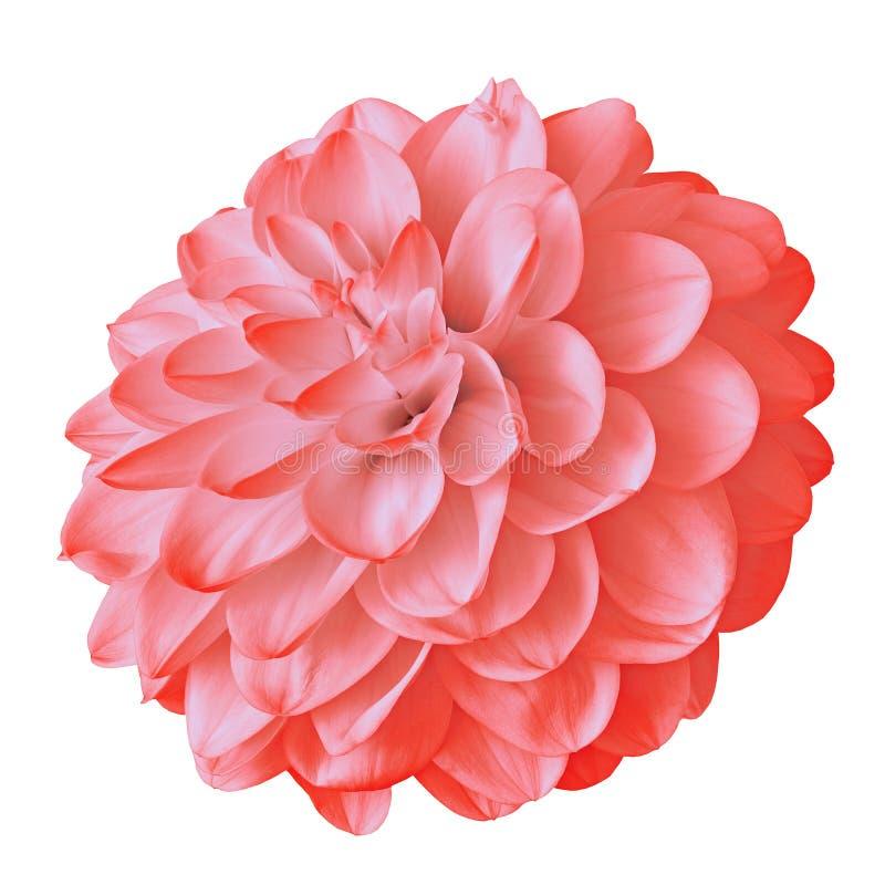 Dália cor-de-rosa vermelha da flor isolada no fundo branco com trajeto de grampeamento Close-up fotografia de stock