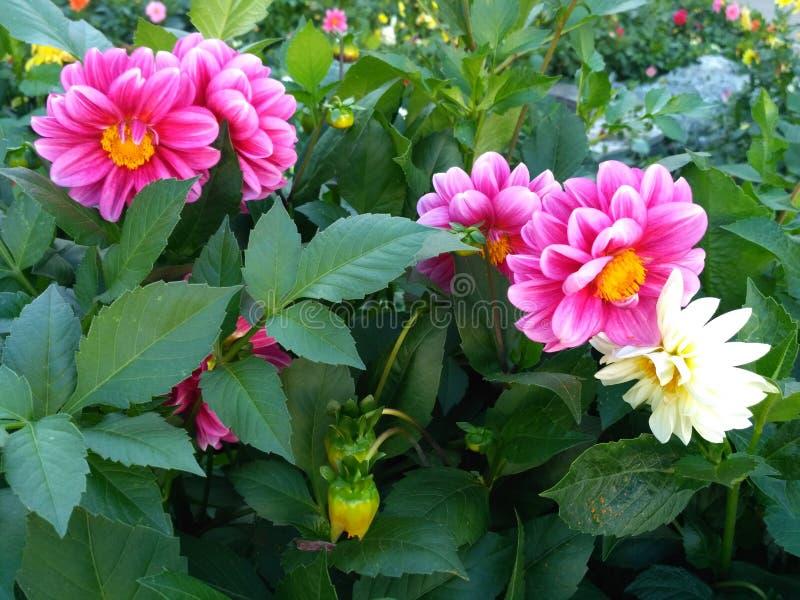 Dália - grandes flores magentas suntuosos fotografia de stock royalty free
