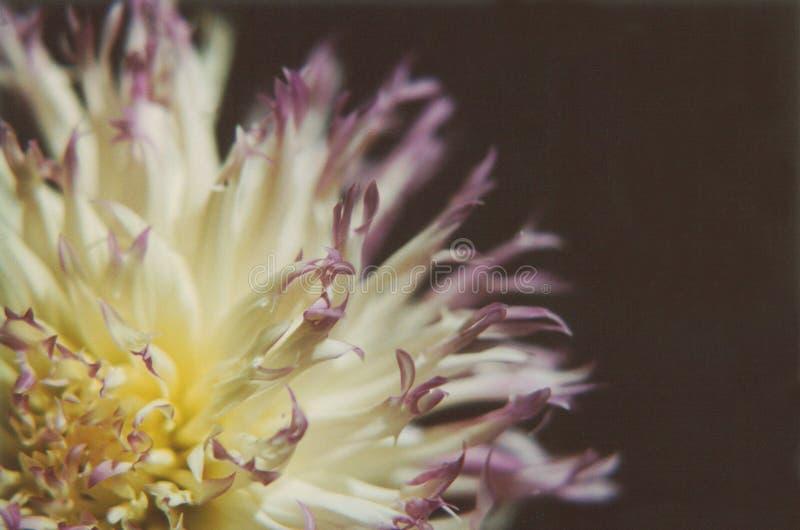Download Dálias foto de stock. Imagem de flores, azul, alimentos - 125242