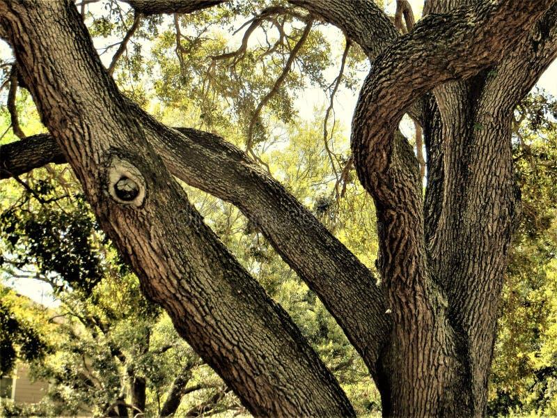 Dębowi drzewa, Marzec, Tampa, Floryda obrazy stock