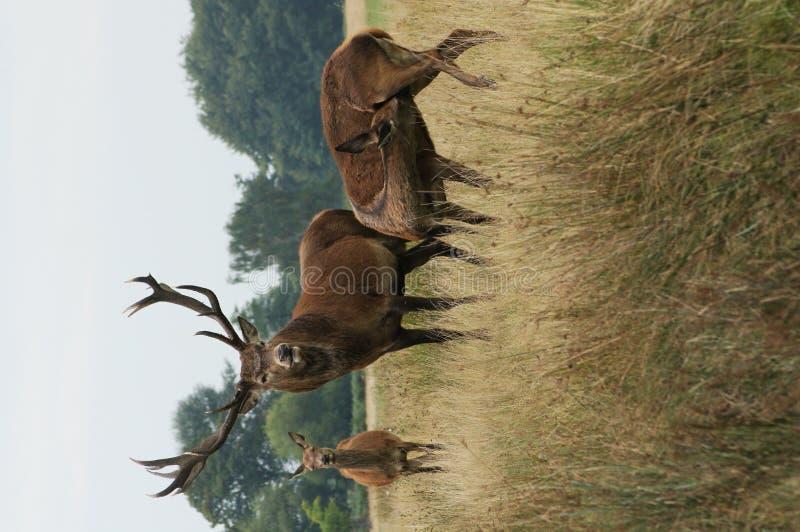 DÄGGDJUR - Röda hjortar royaltyfri foto