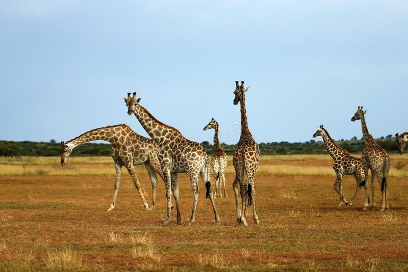 däggdjurs- reticulated mest högväxt världar för giraff fotografering för bildbyråer