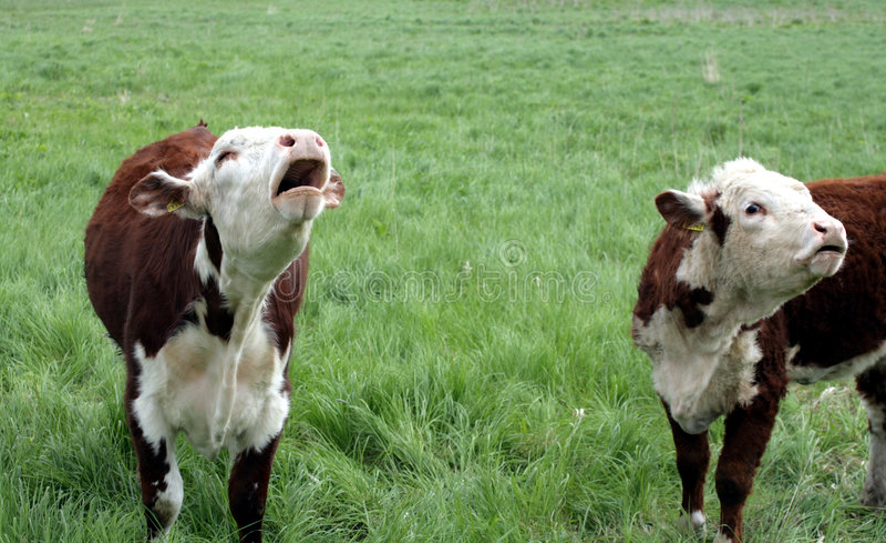Dänische Kühe lizenzfreies stockbild