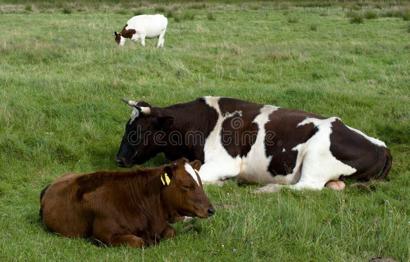 Dänische Kühe stockbilder