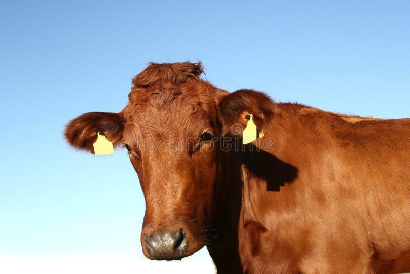 Dänische Kühe lizenzfreie stockfotos
