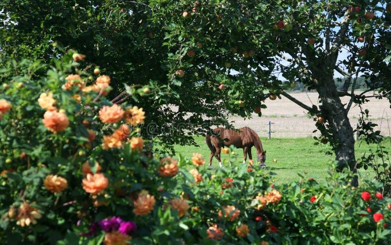 Dänische Pferde stockfotos