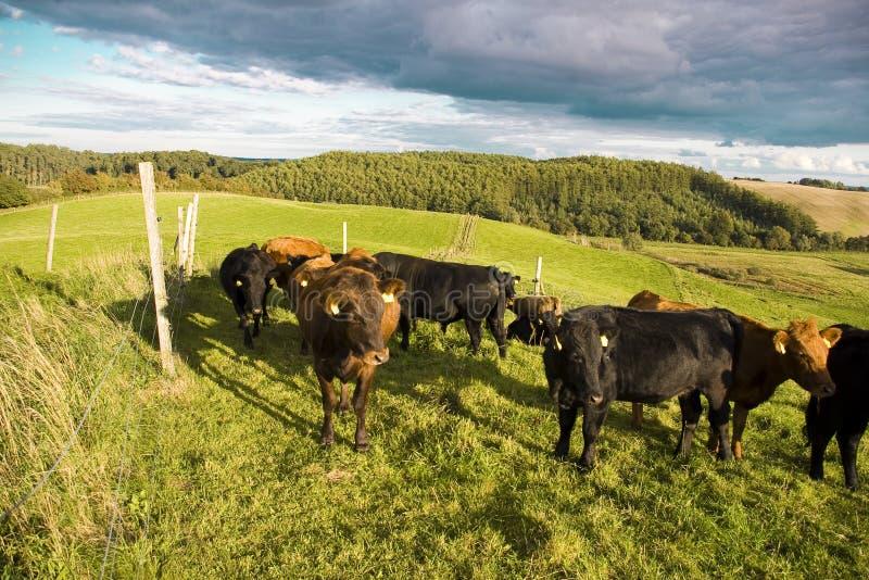 Dänische rote Kühe lizenzfreies stockbild