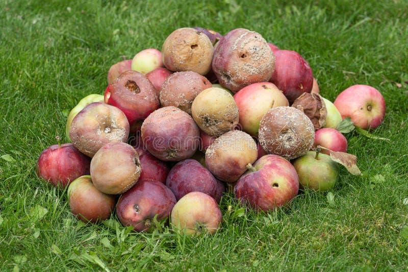 Dåliga och ruttna äpplen royaltyfri bild