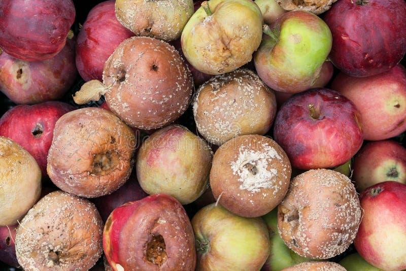 Dåliga och ruttna äpplen arkivbilder