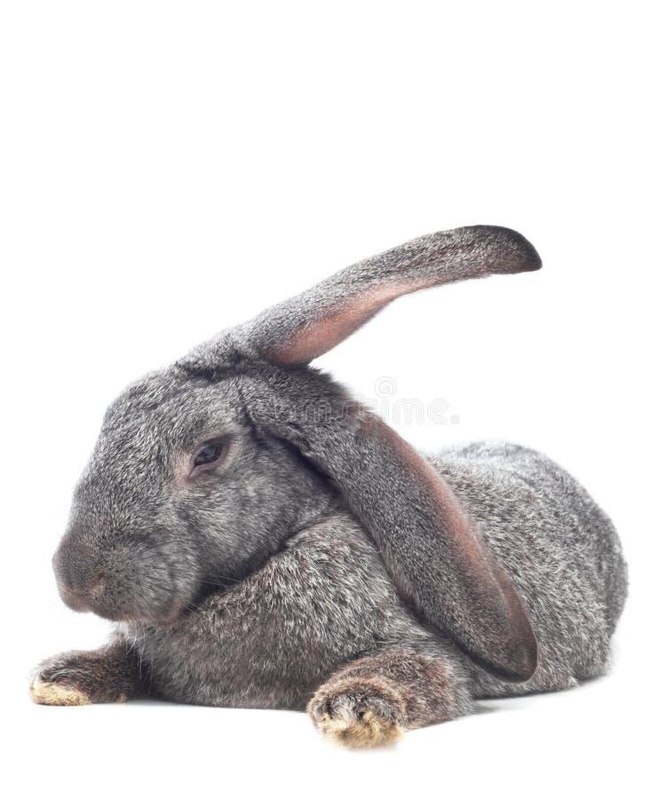 dåsa för kanin arkivfoto