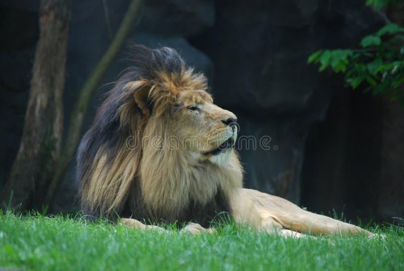 Dåsiga Lion Resting i grönt gräs under ett träd royaltyfria bilder