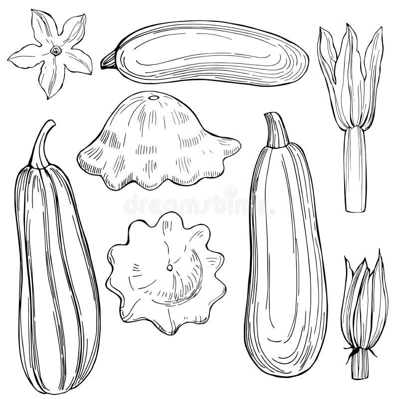 Dé el calabacín y la calabaza exhaustos en el fondo blanco Sketc del vector stock de ilustración