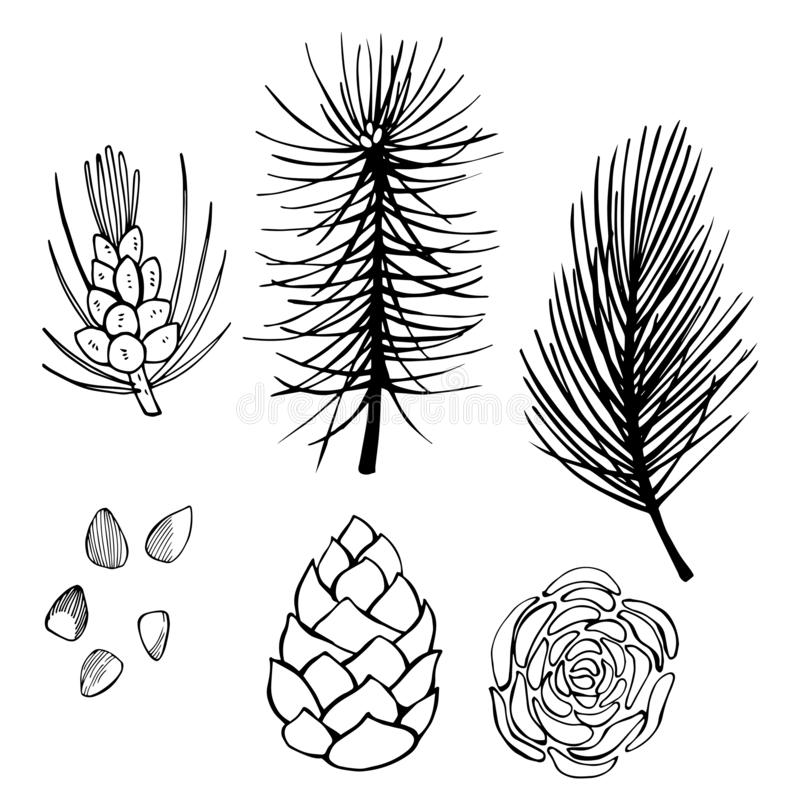 Dé el cono exhausto de la rama y del pino en el fondo blanco ske del vector stock de ilustración