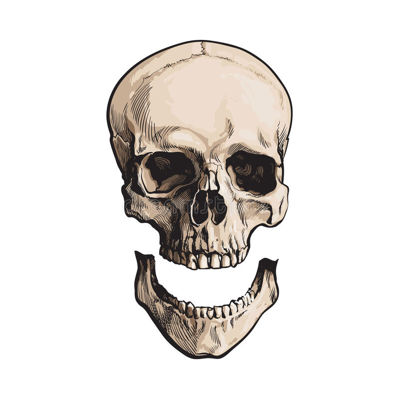 Dé el cráneo humano anatómico exhausto con el maxilar inferior separado, quijada ilustración del vector