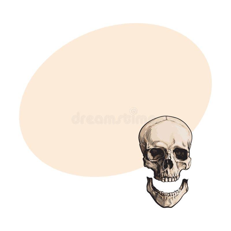 Dé el cráneo humano anatómico exhausto con el maxilar inferior separado, quijada stock de ilustración