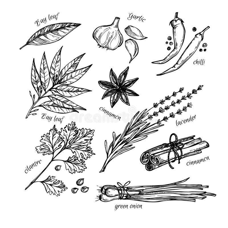 Dé el ejemplo exhausto del vintage - las hierbas y las especias Vector libre illustration