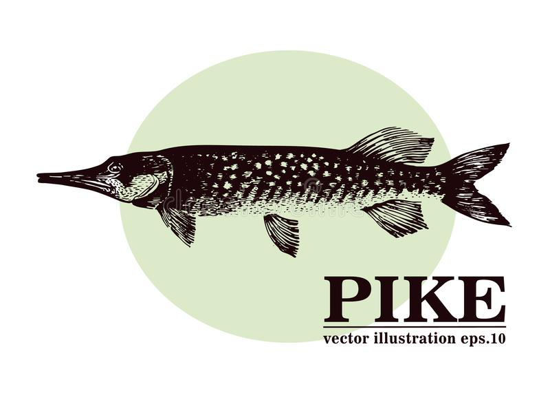 Dé el ejemplo exhausto del vintage del vector de los mariscos del bosquejo de los pescados del lucio Puede ser el uso para el men libre illustration