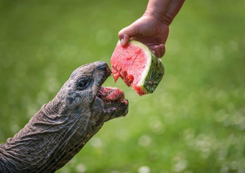 Dé la alimentación de una tortuga gigante con una sandía imagen de archivo libre de regalías