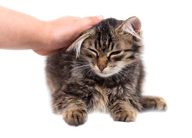 Dé la caricia de un gato en un fondo blanco fotografía de archivo libre de regalías
