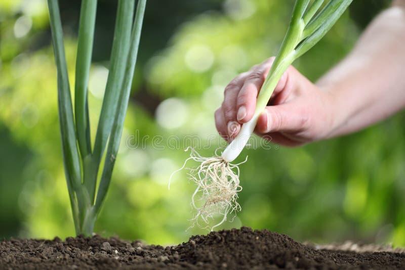 Dé la cebolla de la primavera de la cosecha en el huerto, cierre para arriba fotografía de archivo