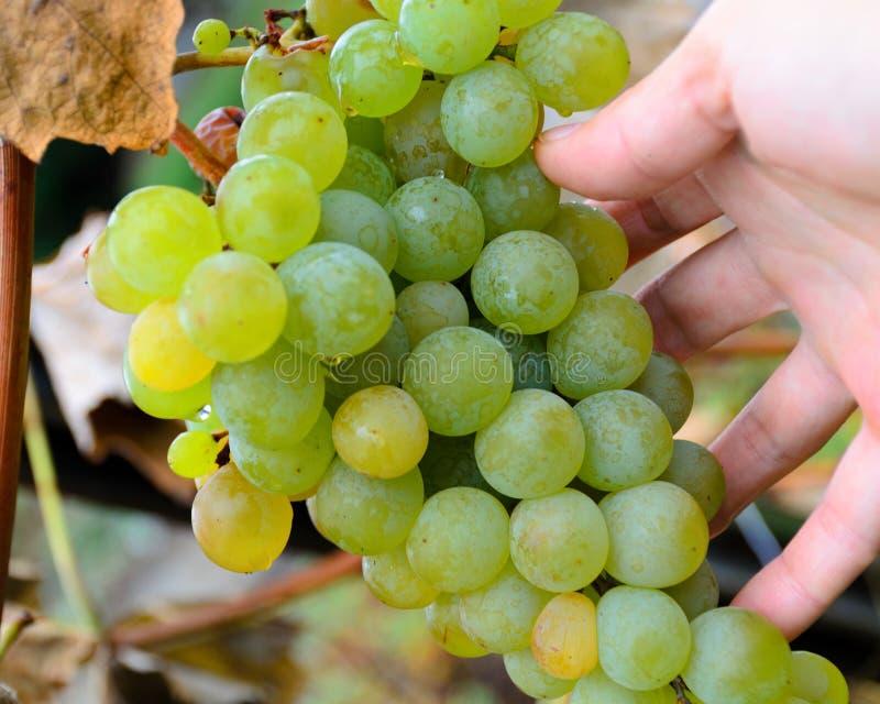 Dé llevar a cabo el manojo de la uva, vino blanco de la clase, cosecha del otoño foto de archivo