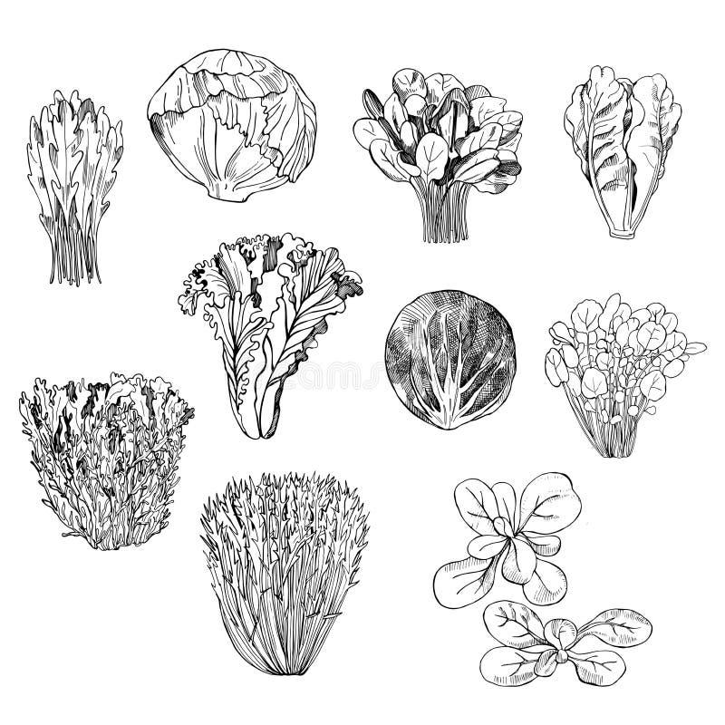 Dé los diferentes tipos exhaustos de lechuga en el fondo blanco libre illustration
