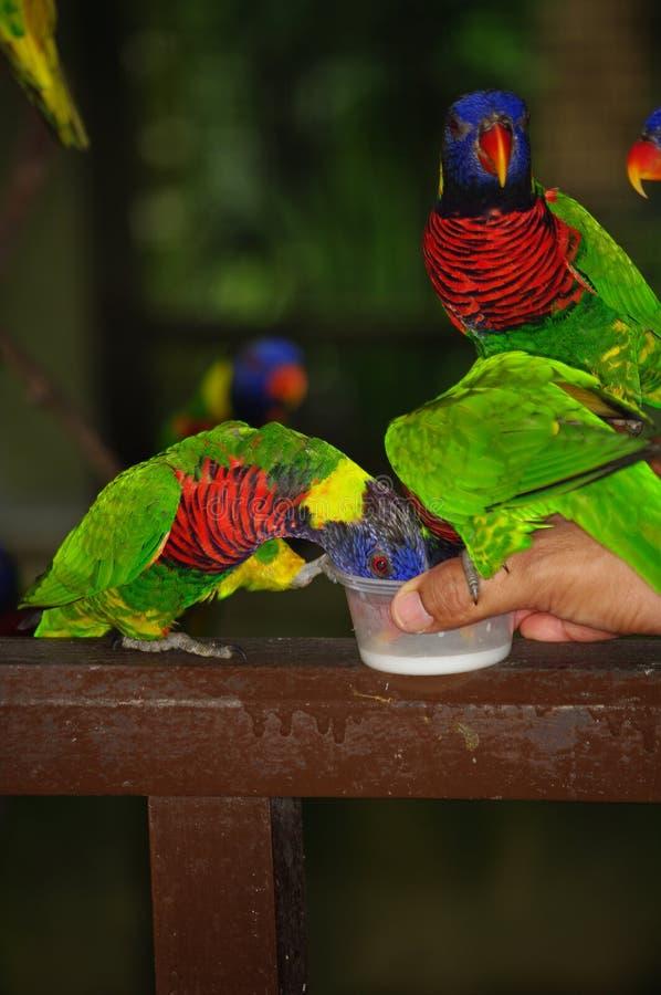 Dé los loros coloridos que se sostienen y de alimentaciones - concepto del cuidado animal foto de archivo