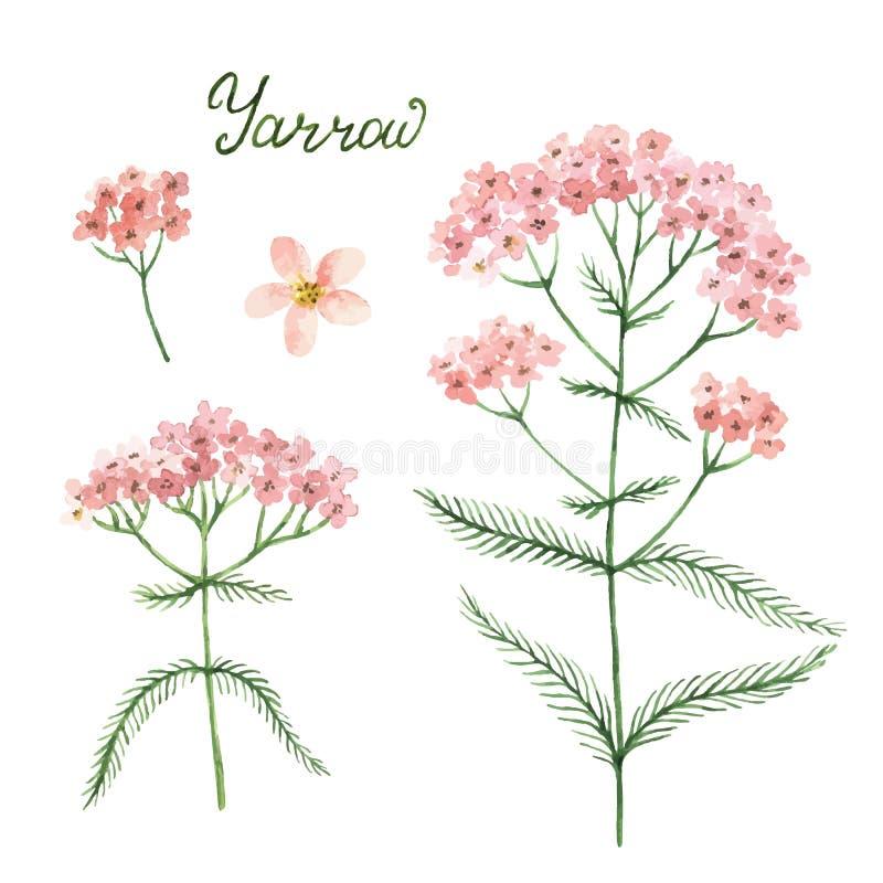 Dé a vector exhausto de la acuarela el ejemplo botánico de la milenrama libre illustration