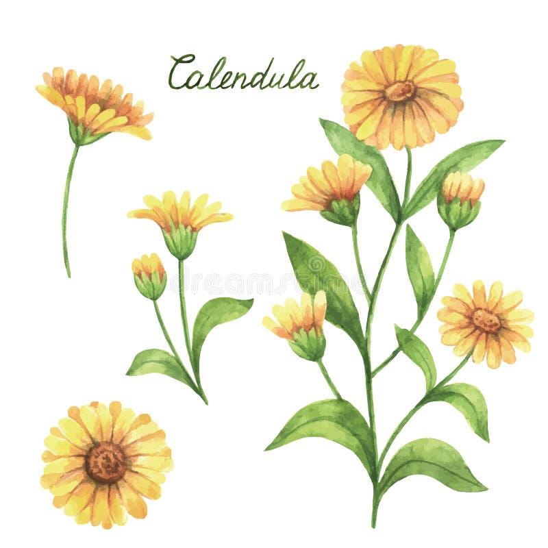 Dé a vector exhausto de la acuarela el ejemplo botánico del calendula, maravilla libre illustration