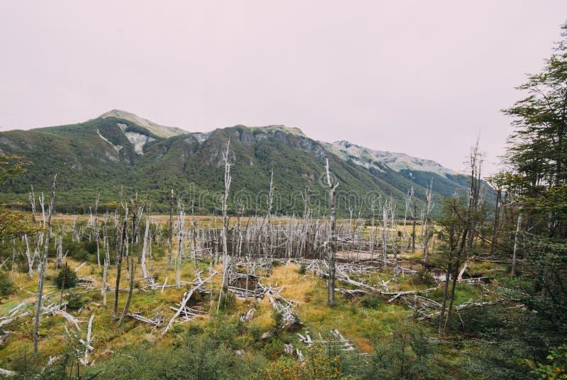 Déboisement d'arbre de castor, Tierra Del Fuego, Argentine images libres de droits